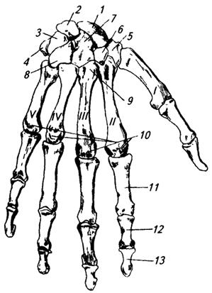 Кости кисти делятся на кости запстья, пястные кости и кости пальцев.